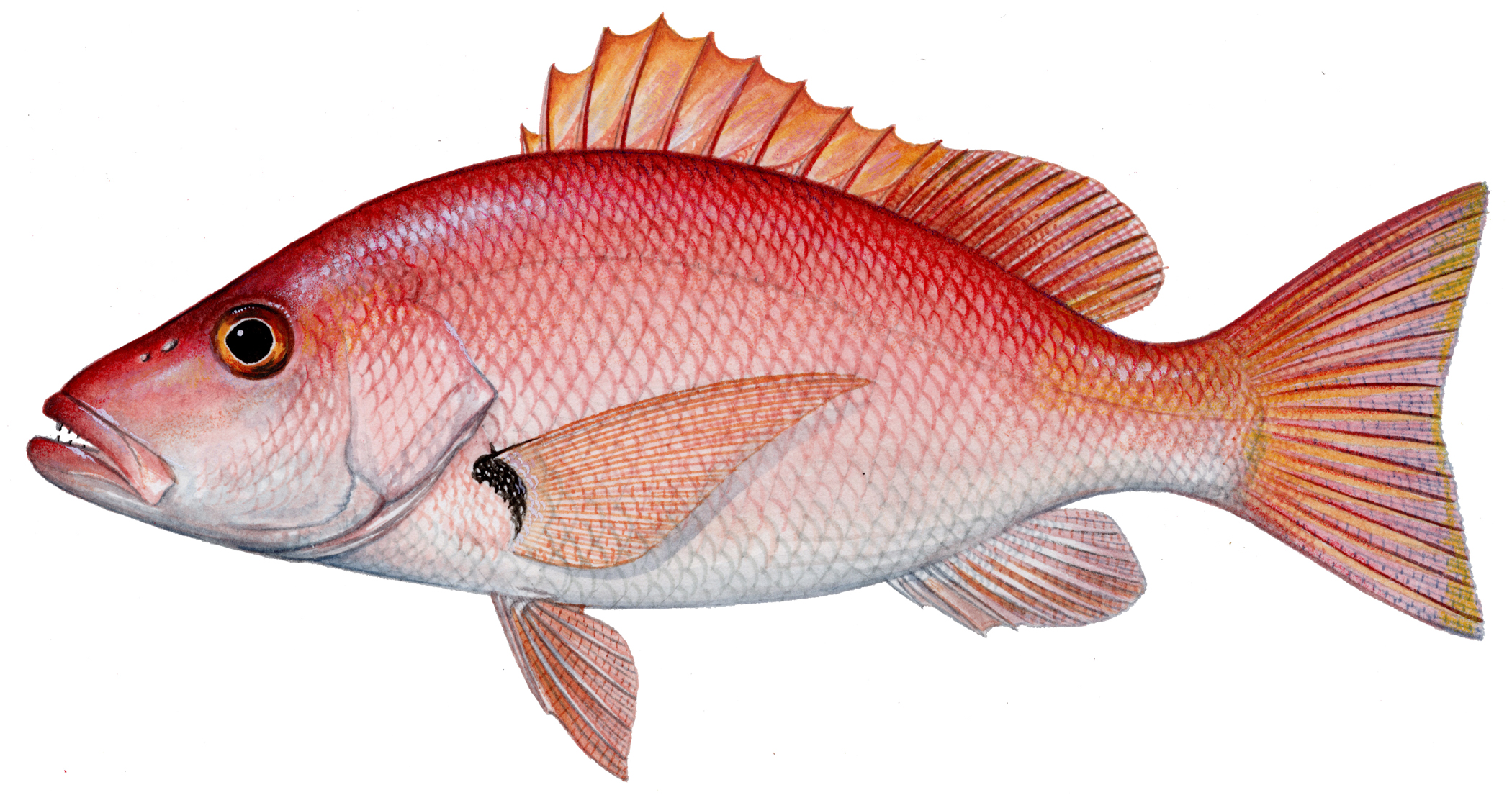 10 days to fish for snapper in federal waters the post for Red snapper fish