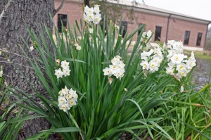 160302 Gardening – paperwhites at Dickinson Library