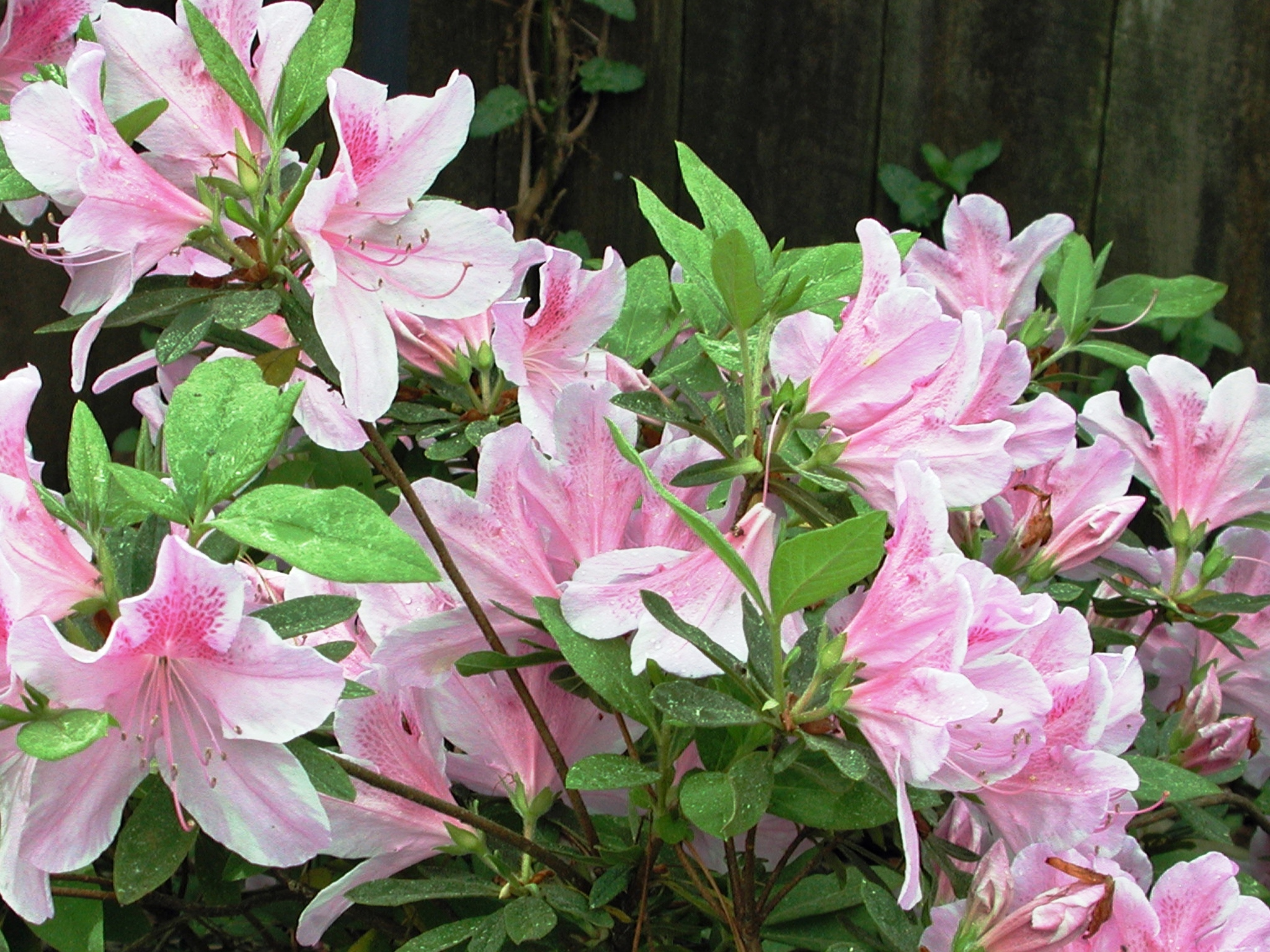 Azaleas are spring showoffs the post newspaper for The azalea