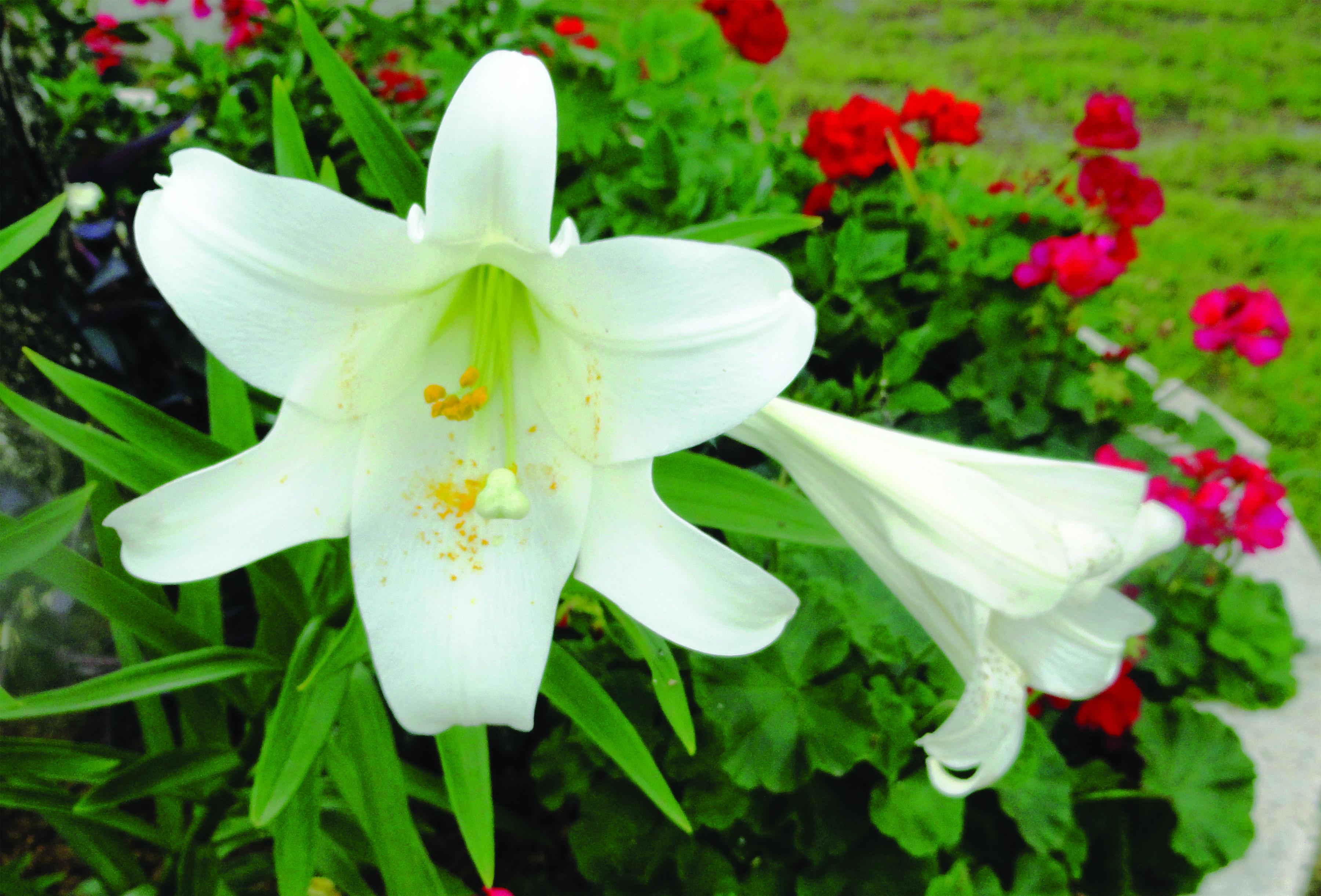 Replant your easter lilies for a treat next year the post newspaper the newest blooming bulb addition in my landscape is an easter lily the source of which is a potted specimen i received a few years ago i was not about izmirmasajfo