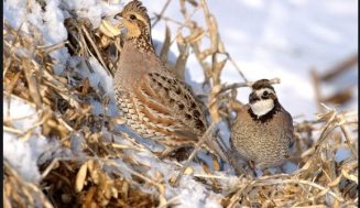 Texas A&M-Commerce Brings Quail Back to Texas